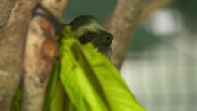 Śliczna Gapiowska opieszałość na drzewnej barkentynie, Costa Rica zbiory