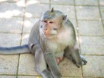 Śliczna Gruba Długa Ogoniasta makak małpa w Uluwatu, Bali, Indonezja Fotografia Royalty Free