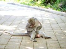 Śliczna Gruba Długa Ogoniasta makak małpa w Uluwatu, Bali, Indonezja Zdjęcia Stock