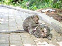 Śliczna Gruba Długa Ogoniasta makak małpa w Uluwatu, Bali, Indonezja Zdjęcia Royalty Free