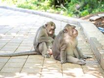 Śliczna Gruba Długa Ogoniasta makak małpa w Uluwatu, Bali, Indonezja Zdjęcie Stock