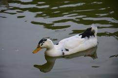 śliczna kaczka Fotografia Stock