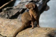 Śliczna karłowata mangusta w Africa fotografia stock