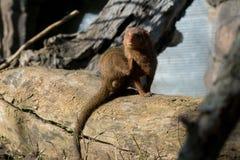 Śliczna karłowata mangusta w Africa obraz royalty free
