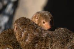 Śliczna karłowata mangusta w Africa obraz stock