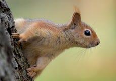Śliczna Kaukaska wiewiórka w profilu Fotografia Stock