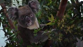 Śliczna koali koala relaksuje na eukaliptusowym drzewie z zielonymi liśćmi w zoo zbiory wideo