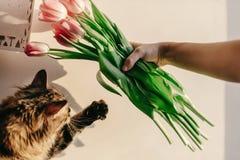 Śliczna kot łapa bawić się z tulipanami w ranku w pokoju śmieszni momen fotografia royalty free