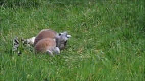 Śliczna lemur małpa zdjęcie wideo
