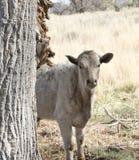 Śliczna młoda ciekawa krowa Zdjęcia Stock
