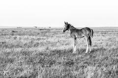 Śliczna mała źrebię pozycja na paśniku, czarny i biały wizerunek fotografia stock