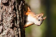 Śliczna mała czerwona wiewiórka Zdjęcie Royalty Free