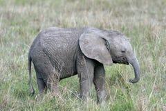Śliczna, mała dziecko słonia pozycja w trawie Afrykańska sawanna, Fotografia Stock