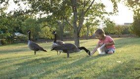 Śliczna mała dziewczynka karmi dzikie gąski przy zieloną lato łąką Fotografia Stock