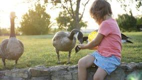 Śliczna mała dziewczynka karmi dzikie gąski przy zieloną lato łąką Zdjęcia Stock