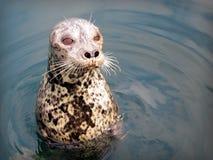 Śliczna mała foka Fotografia Stock