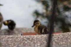 Śliczna mała kaczka dostaje z wody zdjęcie royalty free
