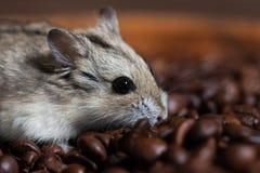 Śliczna mała mysz siedzi przy kawowe fasole obraz royalty free