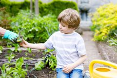 Śliczna mała preschool dzieciaka chłopiec i matka zasadza zielonej sałatki w wiośnie obrazy stock