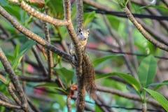 Śliczna mała wiewiórka na drzewie w ogródzie z ranku lig Obrazy Royalty Free