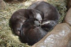 Śliczna Mała wydra Zdjęcie Stock