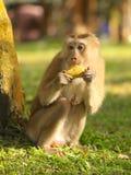 Śliczna małpa Fotografia Royalty Free