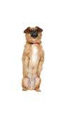 śliczna psia łania iść na piechotę siedzący małego Zdjęcia Royalty Free