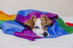 Śliczna psia dźwigarka Russell zawijający w tęczy LGBT fladze na białym łóżku w sypialni Duma miesi?c i ?wiatowego pokoju poj?cie zdjęcia stock