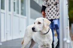 Śliczna psia labrador pozycja na ulicie Zwierzęcia domowego pojęcie Obraz Stock