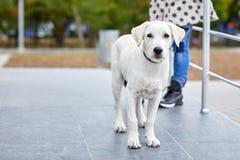 Śliczna psia labrador pozycja na ulicie Zwierzęcia domowego pojęcie Zdjęcie Stock