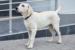 Śliczna psia labrador pozycja na ulicie Zwierzęcia domowego pojęcie Obrazy Stock