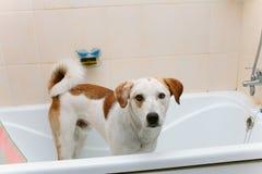 Śliczna psia pozycja w wannie czeka myjącym Zdjęcie Stock
