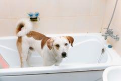 Śliczna psia pozycja w wannie czeka myjącym Fotografia Stock