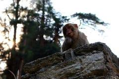 Śliczna puszysta poważna makak małpa na kamienia ogrodzenia spojrzeniach przy kamerą w himalajskim halnym dżungla lesie Zdjęcia Stock