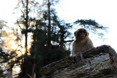 Śliczna puszysta poważna makak małpa na kamienia ogrodzeniu w himalajskim halnym dżungla lesie Zdjęcia Stock