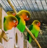 Śliczna rodzina lovebirds wpólnie w wolierze, małe tropikalne papugi od Africa obraz stock