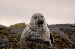 Śliczna scotish foka pozuje dla obrazka fotografia stock
