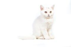 Śliczna tabby figlarka odizolowywająca na bielu Zdjęcie Stock