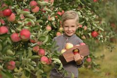 Śliczna, uśmiechnięta chłopiec, podnosi jabłka w jabłczanym sadzie i trzyma jabłka zdjęcia royalty free