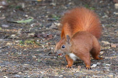 Śliczna wiewiórka Zdjęcie Royalty Free