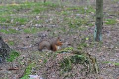 Śliczna wiewiórka w parkowym łasowaniu obraz royalty free