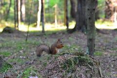 Śliczna wiewiórka w parkowym łasowaniu zdjęcia royalty free