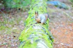 Śliczna wiewiórka z zimy futerkiem na drzewnym bagażniku obraz stock