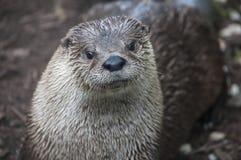 Śliczna wydra w naturalnym położeniu zdjęcie royalty free