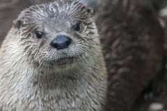 Śliczna wydra w naturalnym położeniu na skale z wodą w tle obrazy stock
