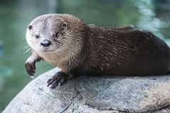 Śliczna wydra w naturalnym położeniu na skale z wodą w tle obraz stock