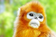 Śliczna złota ostrożnie wprowadzać małpa w jego naturalnym siedlisku wildlif Fotografia Royalty Free