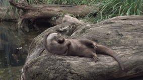 Śliczne Europejskie wydrowe sztuki z kamienną pobliską wodą Śmieszny lutra zbiory wideo
