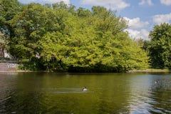 Śliczne kaczki cieszy się na jeziorze Obrazy Royalty Free