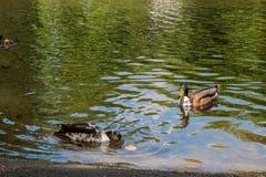 Śliczne kaczki cieszy się na jeziorze zdjęcie stock